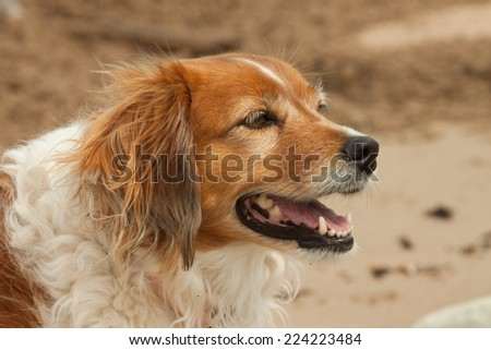 close up portrait head of red collie type sheep dog  - stock photo