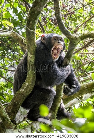 Close up portrait male of chimpanzee ( Pan troglodytes ) with open mouth  on the tree in the jungle. Kibale forest in Uganda  - stock photo