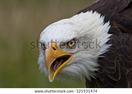Close-up portrait of a bald eagle looking to the left with an open beak - stock photo