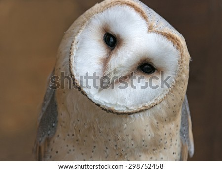 Close up portrait of a barn owl (Tyto alba) - stock photo