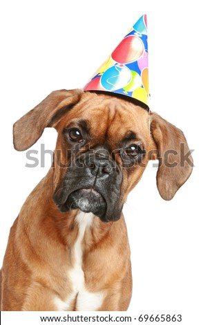Close-up portrait of a boxer puppy in party cone on white ...