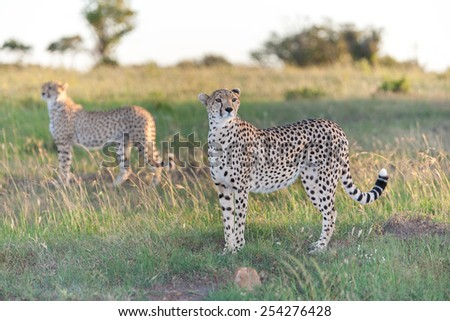 Close-up portrait of a cheetah on a background of savanna - stock photo