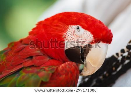 Close up portrait of a colourful parrot - stock photo