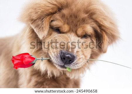 Close up portrait of a cute dog holding a red  rose in his mouth. - stock photo