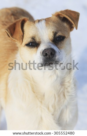 close-up portrait of a cute dog white and red color on a background of white snow - stock photo
