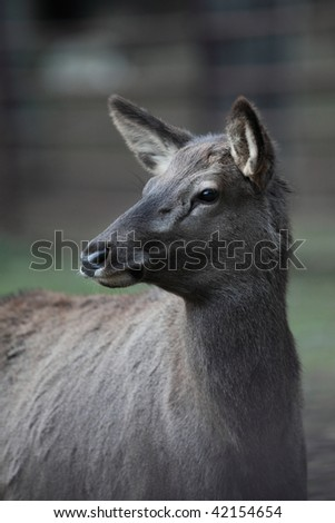 close-up portrait of a doe/hind