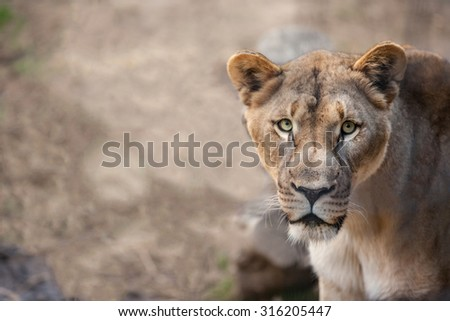 Close up portrait  of a female lion