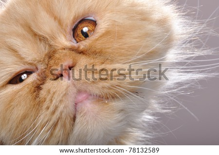 close-up portrait of a funny red Persian breed cat - stock photo