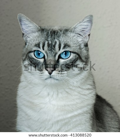 close-up portrait of a gray cat with blue eyes - stock photo