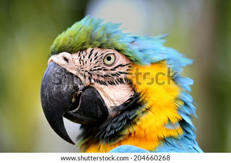 close-up portrait of a large blue macaw   - stock photo