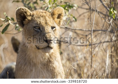 Close-up portrait  of a lion cub sitting in long brown grass - stock photo