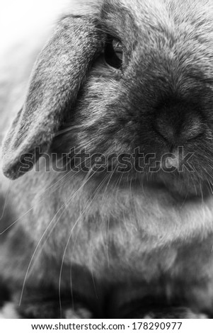 Close up portrait of a long ear rabbit