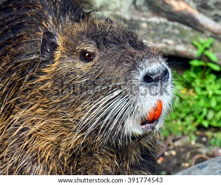 Close up portrait of a Louisiana Nutria Rat, (Myocastor coypus), with orange teeth.