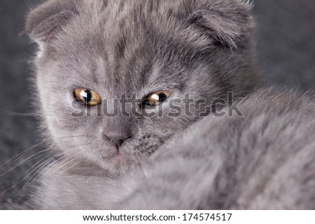 close-up portrait of a muzzle grey far british kitten on grey background