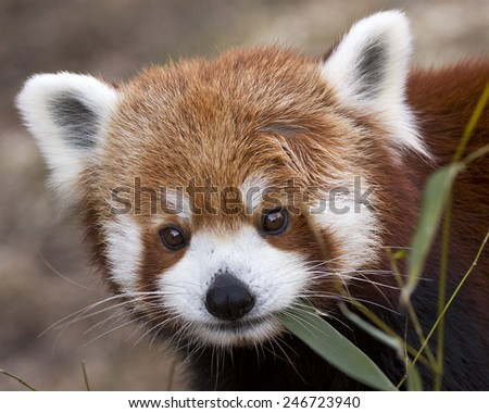 Close up portrait of a red panda making eye contact - stock photo