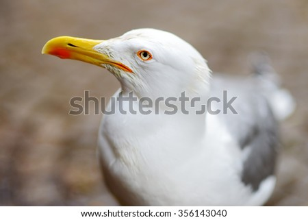 Close up portrait of a seagull