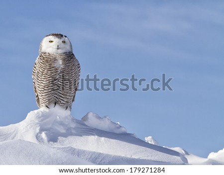 close up portrait of a Snowy Owl perched on a snow bank hunting for prey.  Winter in Minnesota. - stock photo