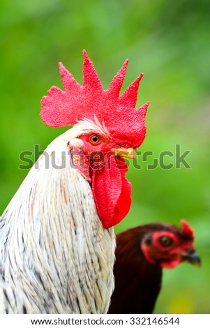 Close Up Portrait Of A Sri Lankan Domestic Fowl. Domestic Fowl Is One Of The Most Common And Widespread Domestic Animals With A Population Of More Than 24 Billion In 2003 - stock photo