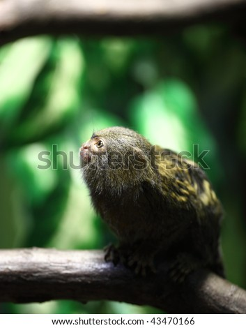 close-up portrait of a very tiny and very cute pygmy marmoset - stock photo