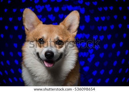 Close-up portrait of a welsh corgi pembroke against a creative heart-shaped bokeh background looking straight