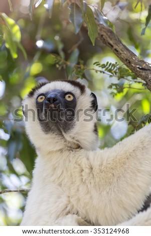Close up portrait of a white Verraux Sifaka lemur with yellow eyes gaze on Zombitse, Madagascar National Park, Africa. - stock photo