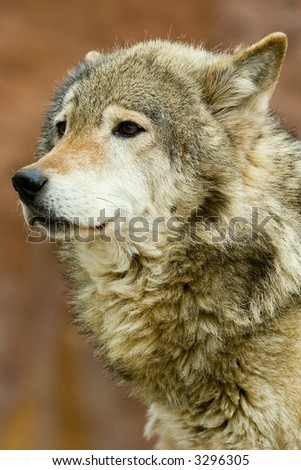 close up portrait of a wolf - stock photo