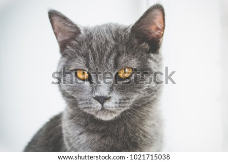 Close-up portrait of a young gray cat. British cat. British Shorthair with blue gray fur. Gray cat with orange eyes.