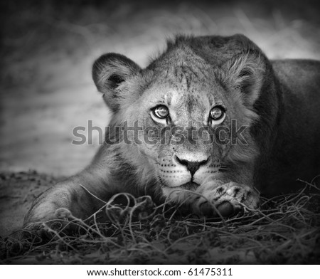 Close-up portrait of a young lion; panthera leo
