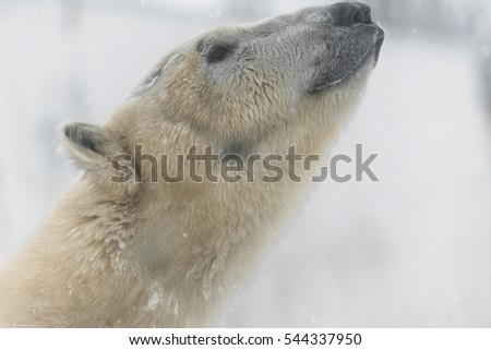 Close Up Portrait of a Young Polar Bear lives in the Arctic