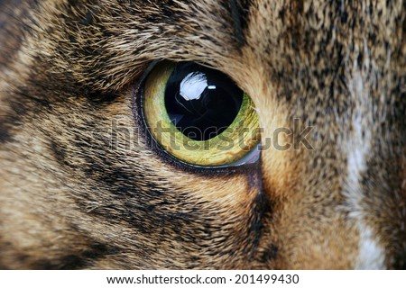 close-up portrait of adult tabby cat with expressive green eyes studio