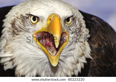 Close up portrait of American bald eagle squawking - stock photo