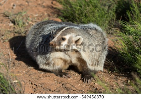 close up portrait of an American badger adult with red dirt background