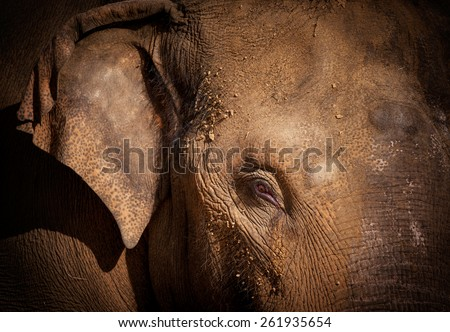 Close-up portrait of an asian elephant - stock photo