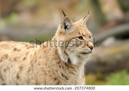 Close-up portrait of an Eurasian Lynx in forest  - stock photo