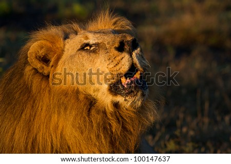 Close-up portrait of an old male lion in early morning light roaring powerfully in the African bush (Madikwe Game Reserve, South Africa)