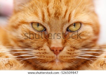 close up portrait of an old red wise cat
