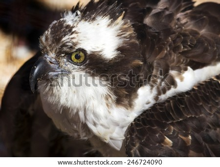 close up portrait of an osprey making eye contact