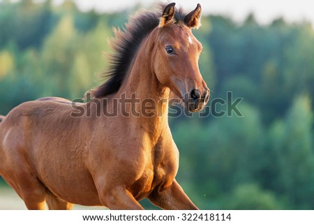 Close up portrait of arabian young foal running free. - stock photo