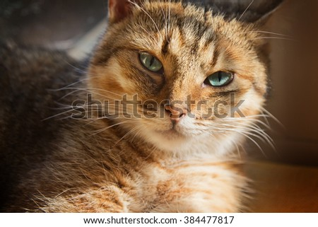 Close up portrait of beautiful domestic cat  looking to the camera