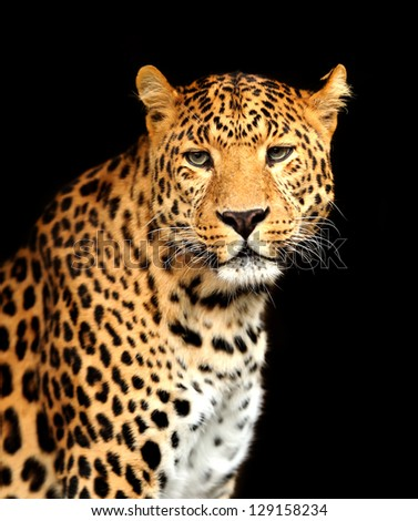 Close-up portrait of beautiful leopard - stock photo