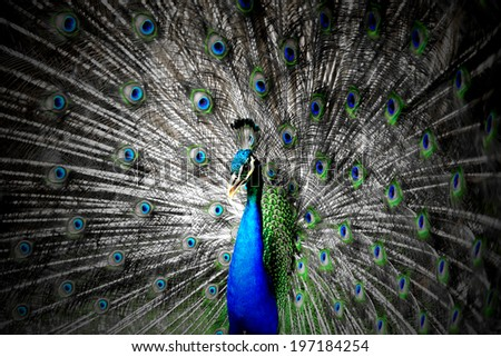 Close up Portrait of beautiful peacock - stock photo