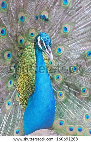 Close-up portrait of beautiful peacock with spreading feathers out. - stock photo