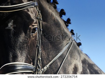 Close-up portrait of black dressage horse with braided mane - stock photo