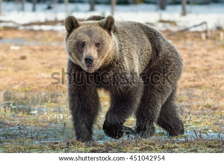 Close-up Portrait of Brown Bear (Ursus arctos) on swamp. Spring in the forest.