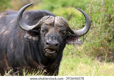 Close up portrait of cape buffalo head and horn - stock photo