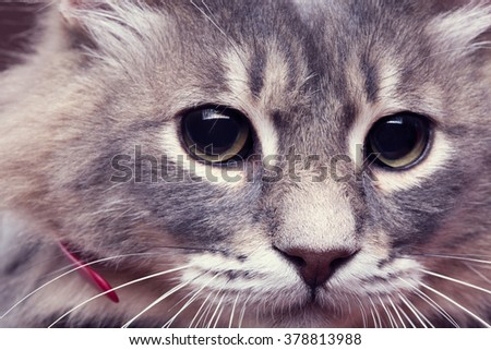 Close up portrait of cat with big black eyes in studio lighting - stock photo