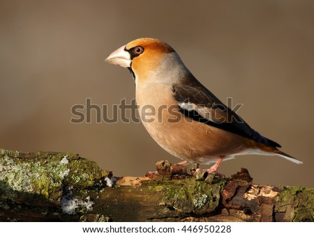 Close-up, portrait of  Coccothraustes coccothraustes sitting on the mossy branch against abstract background. Isolated colorful Hawfinch,male,songbird with huge beak from side view. Winter, Europe.