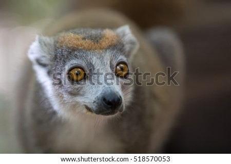 Close up portrait of crowned lemur (Eulemur coronatus) Ankarana National Park. The crowned lemur is endemic to the dry deciduous forests of the northern tip of Madagascar. Wildlife