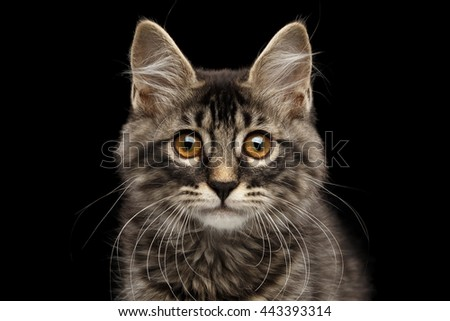 Close-up Portrait of Cute Kurilian Bobtail Kitty with Big Round eyes Curious Looking in Camera, Isolated Black Background, Front view, Funny Cat Face, Adorable Kitten whisker - stock photo
