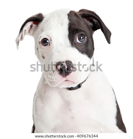 Close-up portrait of cute little Pit Bull puppy looking forward into camera over white - stock photo